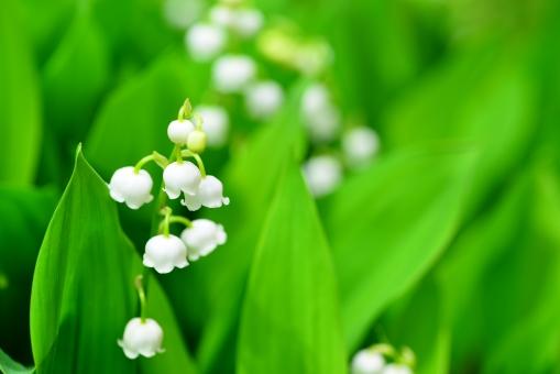 すずらん スズラン 鈴蘭 白い 花 植物 自然 園芸 かわいい 四季 季節 可憐 息吹 緑 グリ-ン やさしい 安らぎ 白い花 葉