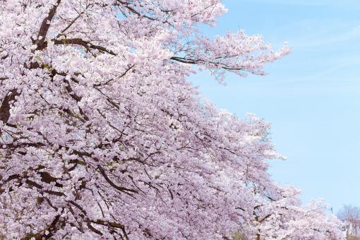 サクラ さくら ソメイヨシノ ピンク 満開 花 花見 お花見 行楽 樹木 春 植物 自然 風景