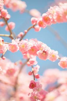 自然 植物 花 花びら ピンク色 桃色 梅 多い 沢山 密集 集まる 成長 育つ 満開 開花 咲く 開く 枝垂れ 垂れる ぼやける ピンボケ アップ 加工 空 青空 天気 晴天 晴れ 無人 室外 屋外 風景 景色 春 見頃 可愛い 鮮やか 綺麗 華やか 美しい