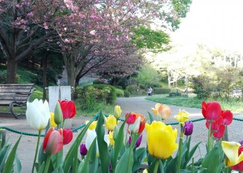 公園 花 広場 うららか 春 お散歩 散歩 桜 チューリップ カラフル お天気 外 屋外 晴れ 気持ちいい すがすがしい さわやか 日本 レジャー お出かけ 植物 自然 景色 風景 しっぽり きれい 可愛い 葉 グリーン ガーデン 花壇 みどり 赤 黄色 白 ピンク 彩