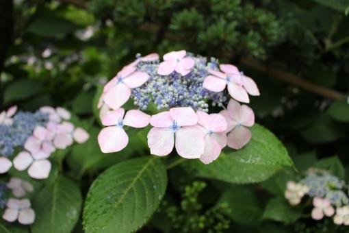 ガクアジサイ 額紫陽花 がくあじさい 紫陽花 アジサイ ホンアジサイ あじさい 植物 6月の花 7月の花 花 梅雨の花 梅雨