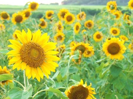 8月の花に関する写真写真素材なら写真ac無料フリー