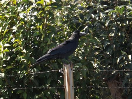 からす カラス 烏 黒い鳥 白いさぎ 真っ黒 羽根 crow raven クロウ レイヴン 雑食性 食害 樹上 営巣 カラスと水差し 天敵 オオタカ 霊鳥 烏の行水 鳥 とり 不吉 びっくり こわい 怖い くちばし 嘴 するどい 鋭い