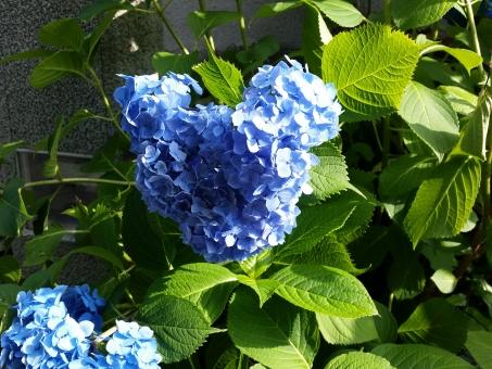 ミッキー アジサイ あじさい 紫陽花 青い花 キャラクター ディズニー ミッキーマウス ディズニーランド 緑 葉っぱ 青 ブルー ラッキー かわいい カワイイ アニメ