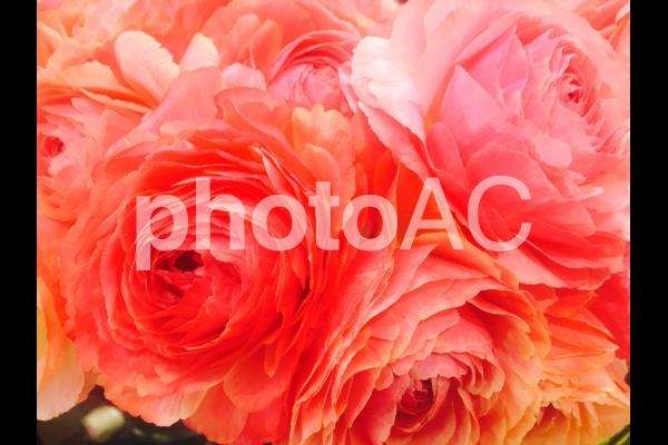 サーモンピンクのラナンキュラスの写真