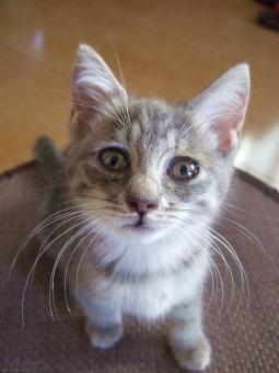 子猫 仔猫 猫 ネコ ねこ グレー ヒゲ 顔 カメラ目線 見つめる シマ模様 しっぽ 猫の手 無人 耳 白いひげ 目を開けた 座る 座っている 表情 訴える目 見上げる 上目づかい かわいい 家猫 飼い猫 室内猫 ペット ふわふわ うるうる