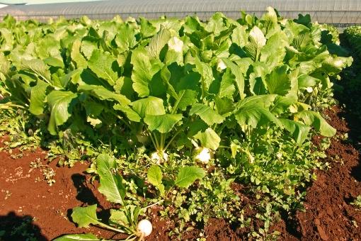 かぶ 蕪 カブ 野菜 青果 緑 青物 植物 作物 農作物 自然 畑 農地 農業 ファーム 風物詩 景色 風景 晴天 快晴 陽だまり 陽光 食べ物 食品 食材 土 ビニールハウス