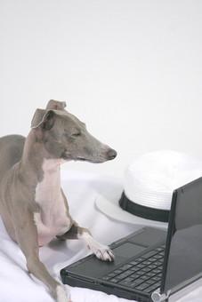 犬 大型犬 動物 生き物 茶色 グレー 白 垂れる 見つめる ドッグ 一匹 伏せる 帽子 麦藁帽子 ストローハット イタリアングレイハウンド 哺乳類 短毛 ノートパソコン パソコン PC キーボード 叩く 横顔 WEBサイト