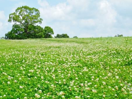 満々 シロツメクサ clover クローバー 花 白い花 植物 丘 群生 密集 たくさん いっぱい 公園 雲 白い雲 晴れ 晴天 快晴 青い 青色 水色 空色 ブルー blue 自然 風景 景色 壁紙 背景 テクスチャ 素材 キレイ 綺麗 きれい 緑 緑色 グリーン green 木 樹木 景観 美しい 鮮やか 爽やか 気持ちいい 気持ち良い 静か 静寂 癒し 広々 広い 遊び場 憩い 憩いの場 草原 原っぱ 野原 満々