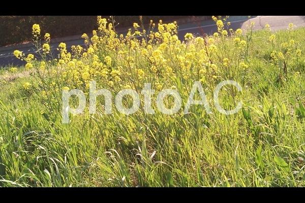 3月 道端に咲く黄色い菜の花の写真