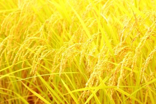 稲穂 黄金色の写真