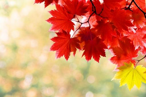 植物 日差し ナチュラル 赤 風景 景色 公園 木 コピースペース 葉 自然 林 枝 素材 背景 森 環境 日本 バックグラウンド 森林浴 背景素材 風流 穏やか 秋 もみじ 紅葉 楓 壁紙 イメージ 季節 カエデ モミジ ポストカード バック 切り抜き 鮮やか 文字スペース 紅 紅葉狩り かえで 四季 ベース 背景画像 フリー 下地 フリー素材 web背景 web素材 抜き