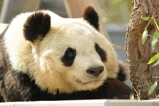 パンダ ジャイアントパンダ 大きい 動物 生き物 黒と白  中国 生息 笹 ささ 笹の葉 葉っぱ 葉 グリーン 木 ツリー もたれる 可愛い ブラック ホワイト 凶暴 熊猫 アニマル