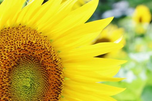 ひまわり ヒマワリ 向日葵 夏 真夏 太陽 お日様 お日さま 笑顔 微笑み ほほえみ 花 植物 花びら 黄色 黄 yellow イエロー 背高 ノッポ のっぽ 日差し 陽射し 明るい 強さ 自然 風景 景色 景観 壁紙 背景 テクスチャ 素材 green グリーン ミドリ 緑 緑色 みどり 茶色 茶 brown ブラウン 爽やか 爽快 鮮やか 艶やか 優しい 優しさ 大らか おおらか 朗らか ほがらか はっきり ハッキリ くっきり クッキリ すっきり スッキリ 大きい でかい 大輪 夏の代表花 夏の花 涼やか 涼しさ 涼 クローズアップ