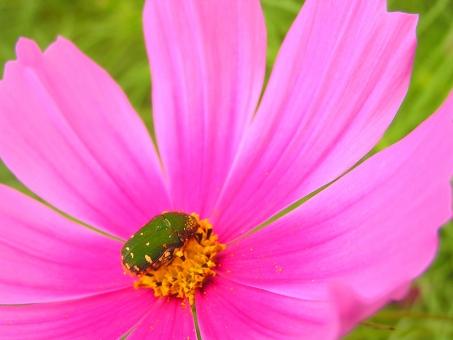 昆虫 自然 nature ネイチャー 野外 屋外 景色 風景 生き物 生きもの 生物 虫 カナブン コスモス 秋桜 花 植物 pink ピンク 秋 9月 九月