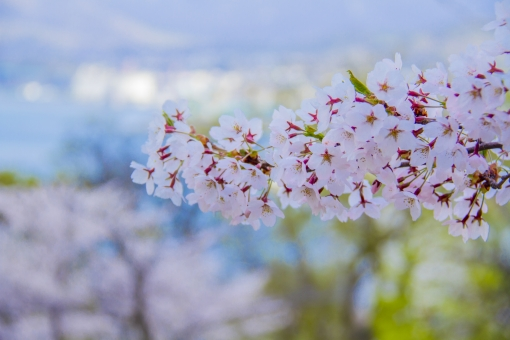 華やか 華 木 連休 公園 自然 風景 薄ピンク 桃色 お花見 花見 満開 桜 櫻 サクラ さくら 春 ピンク 緑 花 植物 樹木 バラ科 きれい 北海道 小樽 手宮公園 手宮 海 雲