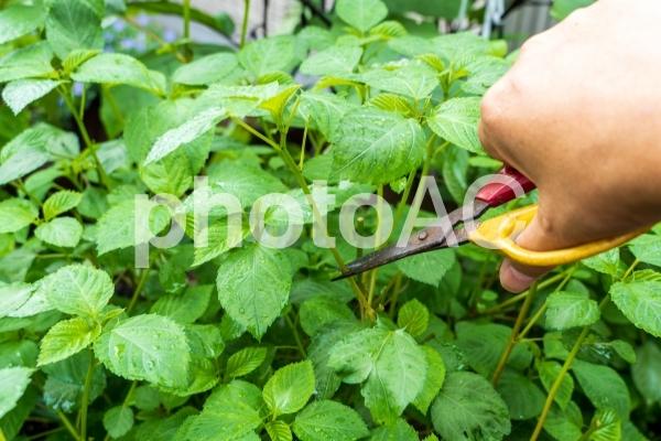 モロヘイヤ収穫の写真