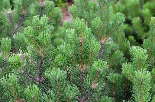 マツ まつ 松 植物 風景 自然 明るい  屋外 葉 葉っぱ アップ 接写 庭木 樹木 木 樹 針葉樹 常緑樹 背景 裸子植物 マツ綱 マツ科 マツ属 細い 針