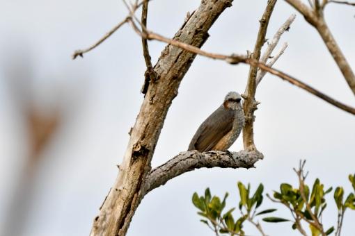 野鳥 ヒヨドリの写真