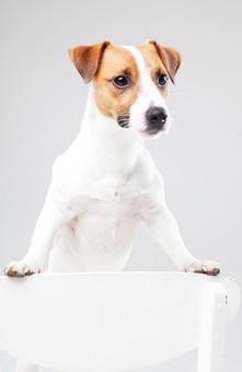 ポーズ 動物 生物 生き物 哺乳類 ほ乳類 犬 いぬ イヌ ドッグ ジャックラッセルテリア 小型犬 仔犬 子犬 白 椅子 いす イス チェア 立つ 立ち上がる 手をつく 前足をつく 前足を乗せる かわいい 可愛い 白背景 白バック グレーバック 十二支 干支 戌