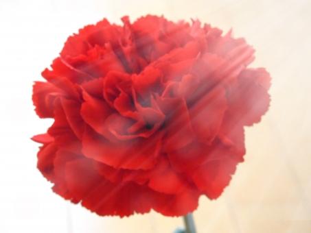 カーネーション 花 花びら 赤 母 ママ 母の日 光 背景 光沢 コピースペース 切り取り 年中行為 切り花 植物 綺麗 キレイ イベント 贈り物 プレゼント お花 花 プレゼント 一輪 テキスチャー テクスチャ mother マザー 花びら 贈り物