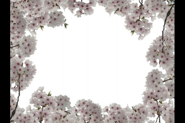 満開の桜 1の写真