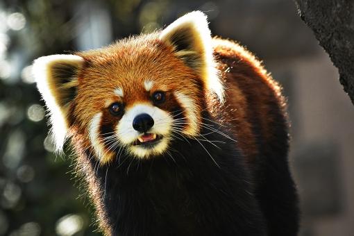 レッサーパンダ 茶色 可愛い アカパンダ 前を向く 白い耳 生き物 動物 インド ネパール ブータン 中国 ミャンマー 生息 オレンジ ブラック 黒 白 ホワイト 一匹 うかがう 見る アニマル