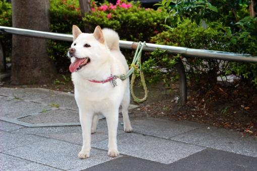 白柴 待つ 主人 飼い犬 ペット 白 白い 柴犬 シバイヌ しばいぬ 日本犬 犬 しばけん シバケン shiba shiba-inu inu で待ち 出待ち 哺乳類 芝犬 雑種 雑種犬 わんこ ワンコ ワンちゃん わんちゃん かわいい 可愛い かわいらしい 可愛らしい つなぐ 繋ぐ 繋がれる 待ちかねる 待ちぼうけ 待ち惚け 一途 つながれる 紐 犬の紐 リード 犬のひも 従順 和犬 犬ころ リーシュ ハーネス にほんけん ニホンケン 主従 主従関係 おとなしい 大人しい 主人を待つ 穏やか おだやか 忠誠 素直 すなお 飼い主 小型犬 イヌ いぬ 動物 忠犬 愛犬 慕う 焦がれる 待ち焦がれる 待ち焦がれ ペット犬 家庭犬 アニマル ワンワン わんわん 家族の一員 家族 純真 いやし 癒し 癒される いやされる チャーミング 好かれる 和む なごむ 人気 人気者 散歩 お散歩 見つめる 待ちきれない キュート 愛らしい あいくるしい 愛くるしい 愛しい 愛おしい いとおしい 従者 dog 舌 べろ ベロ 舌を出す 呼吸 お店の前 スーパーの前 待ちぼう犬 お買いもの 買物 買い物 かいもの 買いもの お買い物 哀愁 哀愁漂う 切なさ 切ない せつない 日本 にほん にっぽん ジャパン 町 街中 街 日常 日常風景 ソフトバンク お父さん犬 お父さん softbank 白い犬