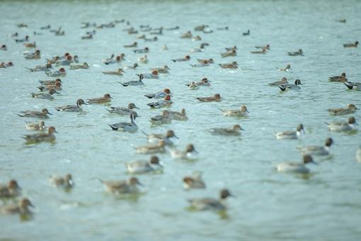 動物 生き物 生物 鳥類 水鳥 カモ 鴨 冬鳥 羽毛 湖 湖面 水面 群れ 集団 仲間 泳ぐ 揺れる ゆったり のどか 穏やか 静か 自然 風景 景色 トイフォト トイカメラ トイデジ 背景 バックグラウンド 壁紙