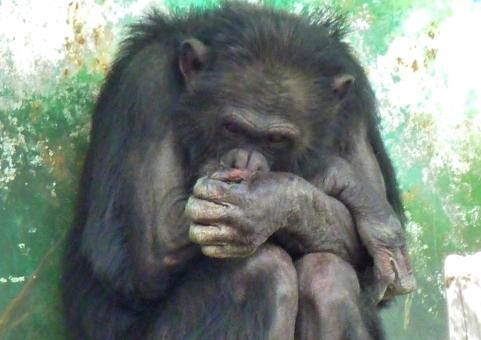 チンパンジー サル 猿 動物園 アニマル 困った顔 すねる 内気 悩み ふさぐ 滅入る
