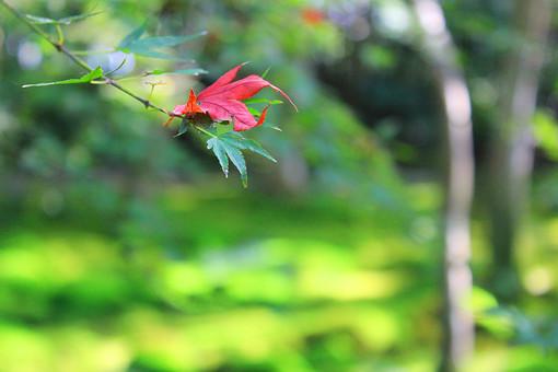 京都 祇王寺 嵯峨 嵐山 木 木漏れ日 葉 森林 秋 紅葉 緑