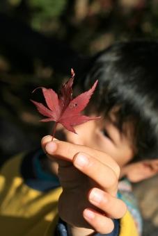 もみじ 紅葉 秋 あき 葉 は 落ち葉 子供 こども つまむ 指 手 て ゆび 子ども 男の子 おとこのこ 自然 屋外 クローズアップ 色づく 鮮やか