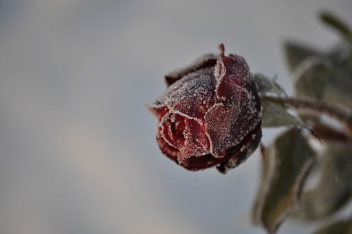 外国風景 海外 国外 外国 クロアチア 東ヨーロッパ ヨーロッパ 東欧 旅行 レジャー 観光 自然 緑 植物 花 花びら 咲く 風景 景色 葉 屋外 草 背景 背景素材 生える 露 薔薇 バラ 赤 ローズ 霜 冬 寒い 極寒 凍る