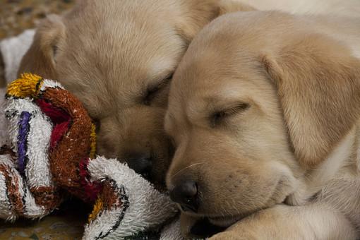 ラブラドールレトリバー ラブラドール  犬 イヌ いぬ 動物 ぺット 生物 生き物 犬種 かわいい 仲良し  アップ 顔  自然 飼育 毛のある動物 横顔 耳 陸上動物 ほ乳類 子犬  寝顔 タオル 兄弟 赤ちゃん