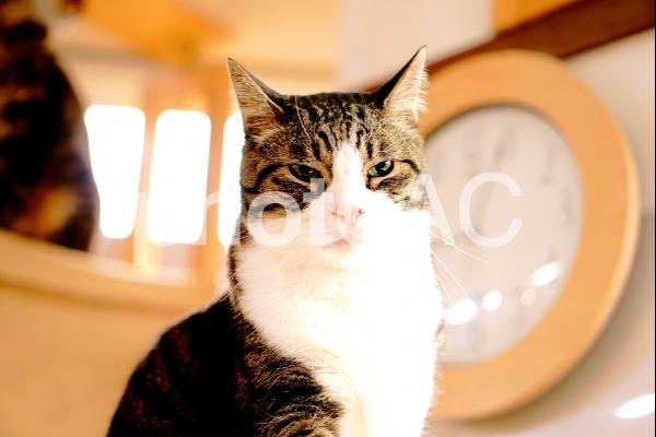 すました猫の写真