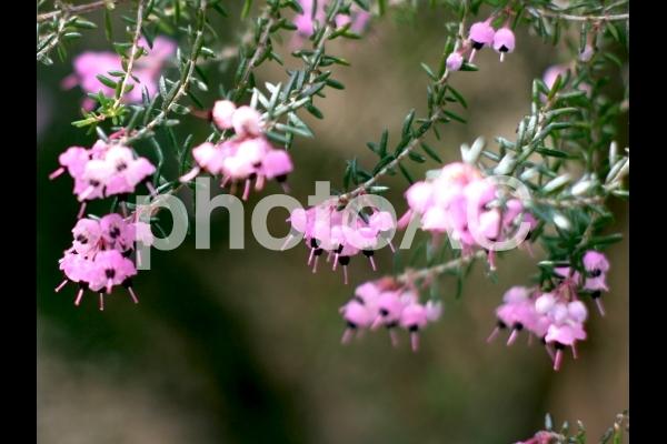 花はエリカさんの写真