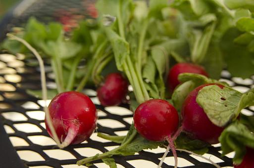 ラディッシュ ハツカダイコン 廿日大根 二十日大根 アブラナ科 ダイコン属 植物 野菜 食料品 食品 食べ物 食べる 健康 フレッシュ 新鮮 自然 ダイエット 食材 農業 収穫 栄養 まるごと 実 アントシアニン ひげ 葉 網