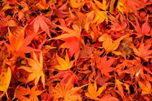 紅葉の絨毯の写真