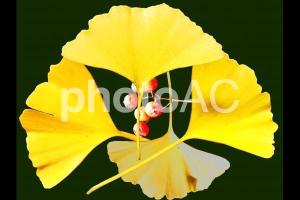 銀杏の葉・ナナカマドの実 切り抜きの写真