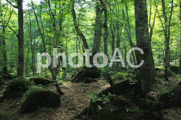 白神山地の森林の写真