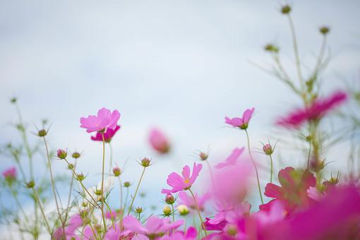 秋の風景 コスモス アキザクラ 秋桜 コスモス畑 花畑 花園 空 雲 桃色 ピンク 白 緑 植物 花 草花 一面 満開 散歩 散策 自然 風景 景色 真心 のどか 鮮やか 華やか 美しい 綺麗 明るい ボケ味 ピントぼけ