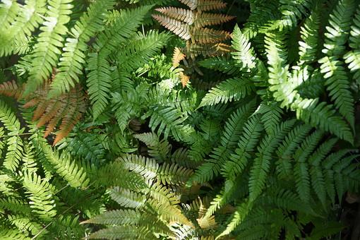 シダ シダ植物 自然 景色 風景 植物 樹木 木 木漏れ日 樹 葉 葉っぱ 癒し 森林浴 エネルギー 浄化 元気 パワー  森 林 緑 被子植物 細かい葉 明るい 観察