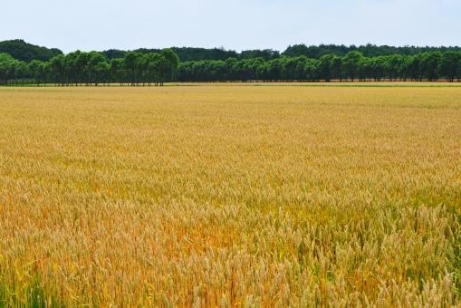 麦 むぎ ムギ 麦畑 畑 黄金色 金色に輝く麦畑 麦芽 夏 ビール