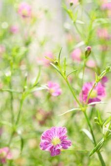 かすみ草 カスミソウ 霞草 かすみそう ピンク 桃色 小花 小さい花 花 植物 春 春の花 明るい かわいい 花言葉 願い 花壇 ガーデニング 縦 コピースペース 文字スペース 背景 ディープローズ