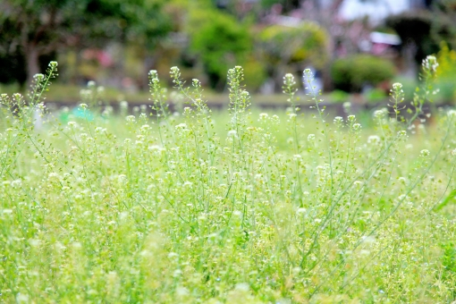 植物 花 葉っぱ 緑 なずな ナズナ,畑 雑草