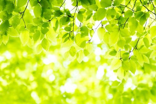 緑 グリーン 黄緑 新緑 明るい 林 山毛欅 ブナ林 山毛欅林 ぶなの木 樹木 自然 春 初夏 里山 癒し リラクゼーション 木 木の葉 木漏れ日 輝き マイナスイオン キイロイトリ 爽やか 森林セラピー 5月 背景 テクスチャー バックグラウンド