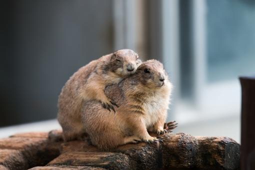 プレーリードッグ あったかいんだからぁ あったかい あったかいんだから ぬくぬく 温もり 好き 愛してる カップル 動物 動物園 徳山動物園 哺乳類 ハグ はぐ 抱き合う 抱く あたたかい 好き スキ プレーリードック プレイリードック プレイリードッグ 癒し 面白画像 面白い 面白 おもしろい おもしろ画像