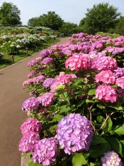 アジサイ 紫陽花 あじさい 開花 見頃 花 ピンク 木々 道 通路 歩道 公園 青空 自然 風景 景色 紫陽花園 晴れ 梅雨 季節 植物 鮮やか 華やか 明るい