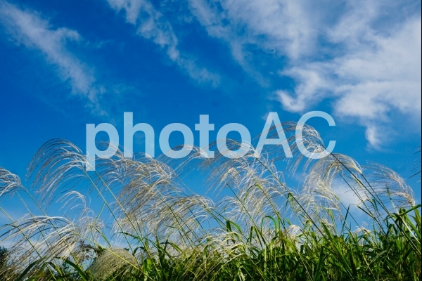 ススキと青空の写真