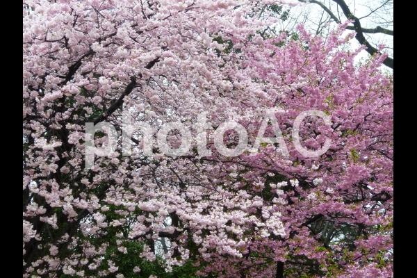 Sakura5の写真